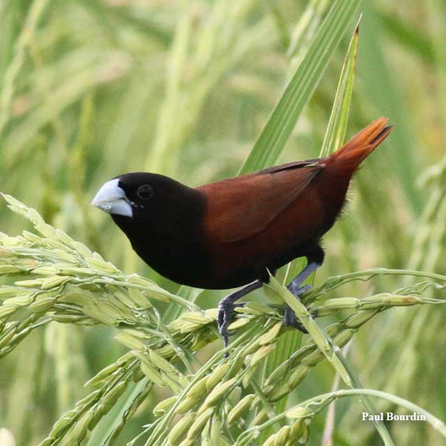 birds-chestnut-munia-paul-bourdin