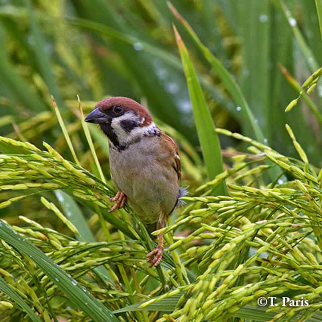 birds-eurasian-tree-sparrow-tirso-paris