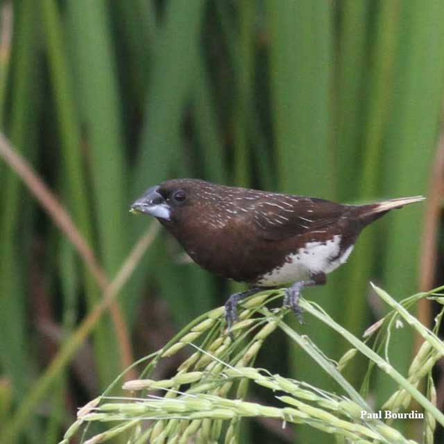 birds-white-bellied-munia-paul-buordin