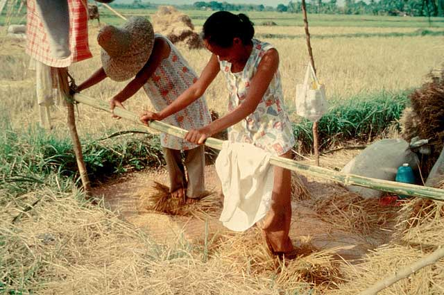 harvesting-threshing-manual-trampling