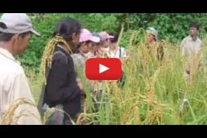 Rice research to improve production in the mountains of Laos