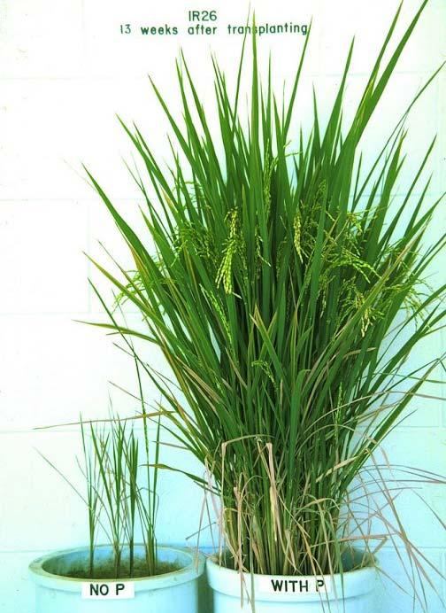 effect of nitrogen fertilizer on plant growth pdf