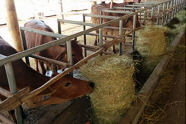 rice-straw-for-livestock-feed