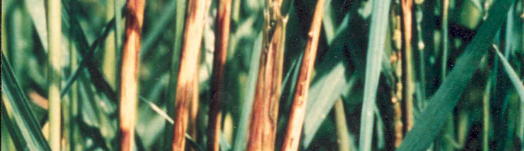 Bacterial sheath brown rot