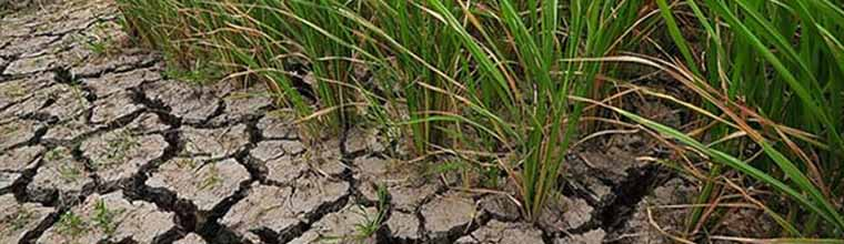 Climate change-ready rice