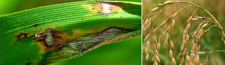 Blast (leaf and collar)