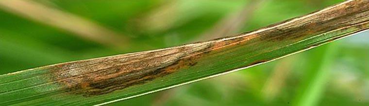 Leaf Scald
