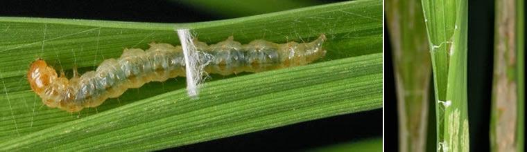 Rice leaffolder