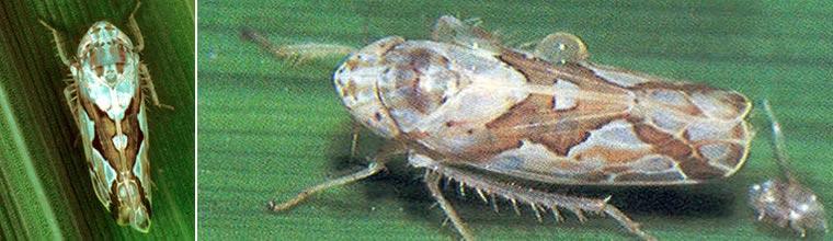 Zigzag leafhopper