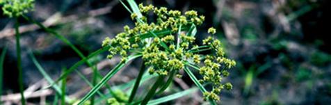 Cyperus difformis
